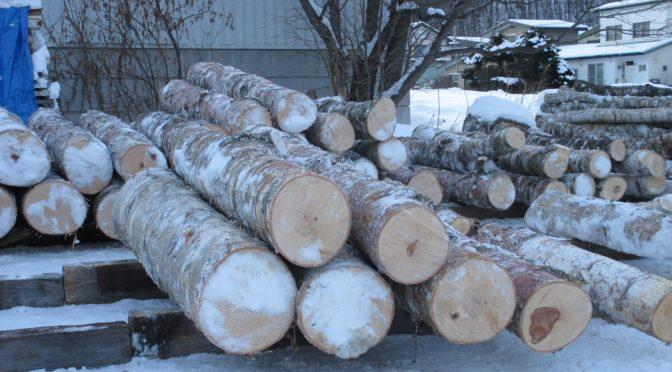 白樺の伐採